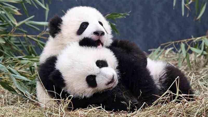 Inilah Habitat Terbaik Panda di Tiongkok