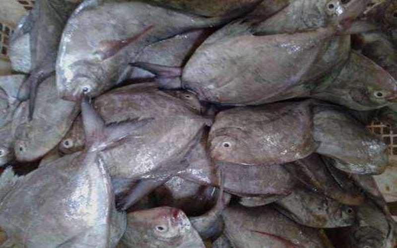 Ikan Dorang Baik Untuk Ibu Hamil dan Menyusui