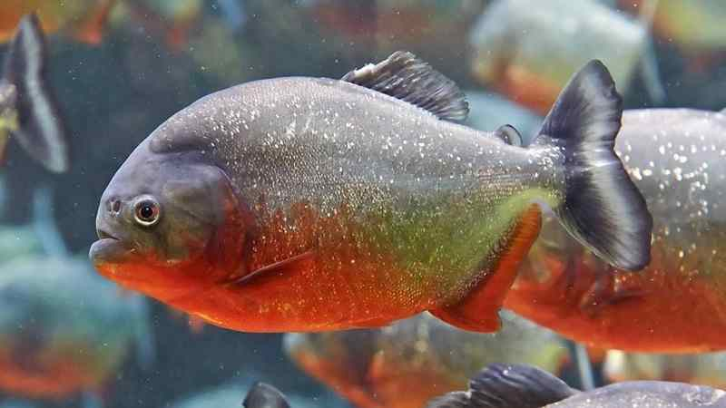 Inilah Ikan Predator yang Menjadi Idola Para Pecinta Ikan Hias