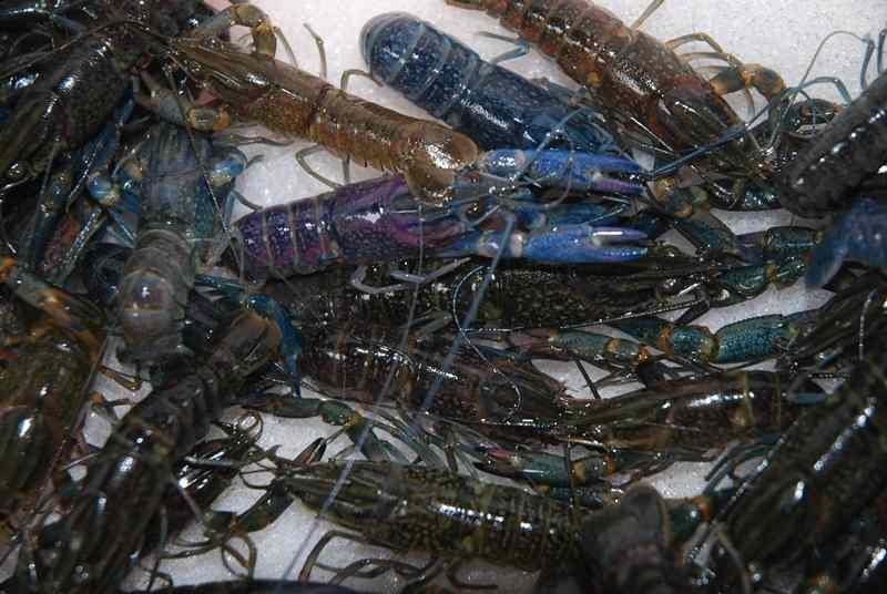 Inilah Proses Pembenihan Lobster