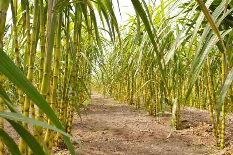 Kemendag Diimbau Perluas Lahan Tebu Hingga 750 Ribu Hektare