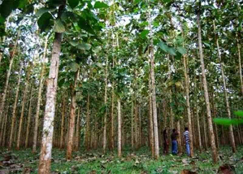 Kenali Hama yang Sering Menyerang Pohon Jati