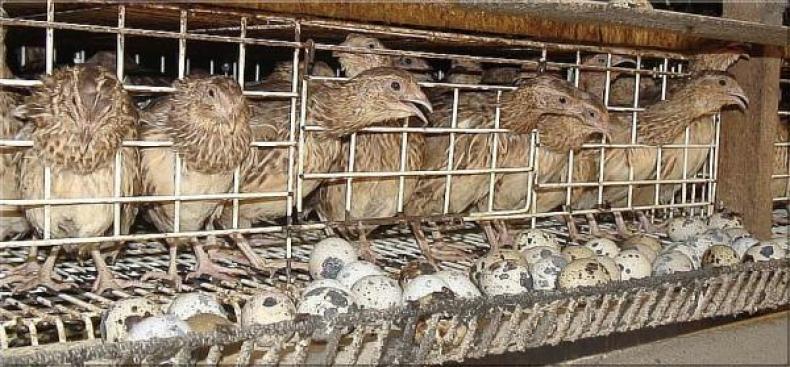 Memulai Usaha Beternak Burung Puyuh Petelur