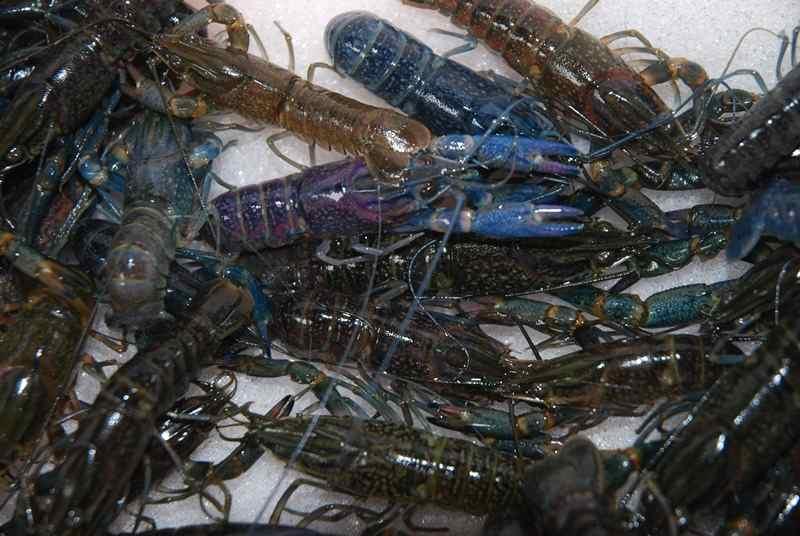 Mengatasi Kendala dalam Budi Daya Lobster Air Tawar