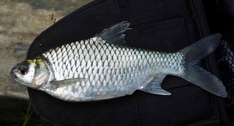 Mengenal Jenis-Jenis Ikan Tawes