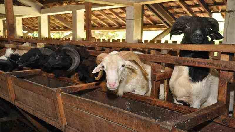 Panduan Lengkap Budi Daya Domba
