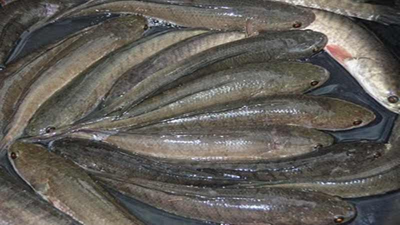 Tahap Pendederan dan Pembesaran Ikan Gabus
