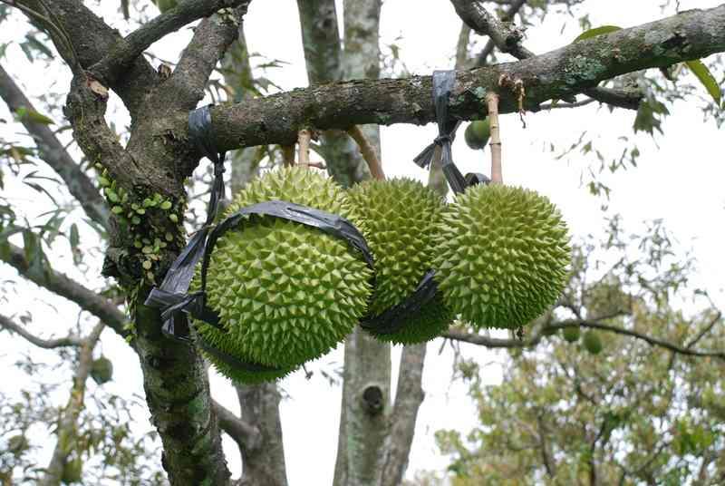 Teknik Jitu Budidaya Durian Bawor
