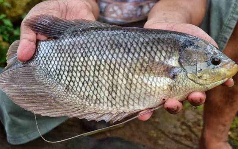 Tips Memberikan Pakan Buatan untuk Anakan Ikan Gurami