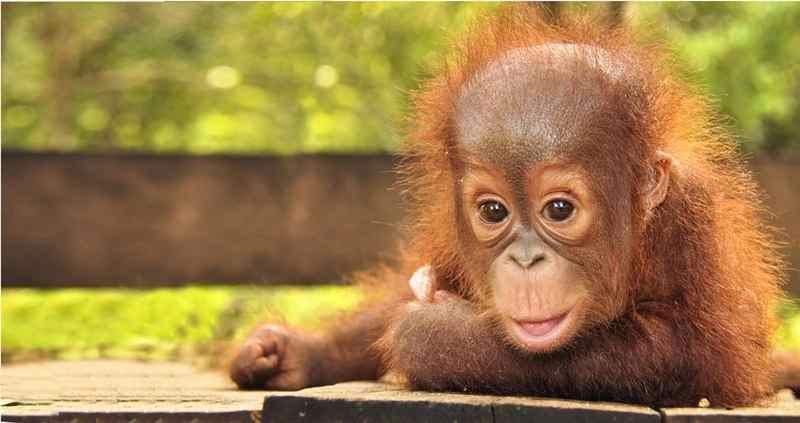 Mengenal Lebih Dekat Program Konservasi Orangutan Borneo di IIBF 2016