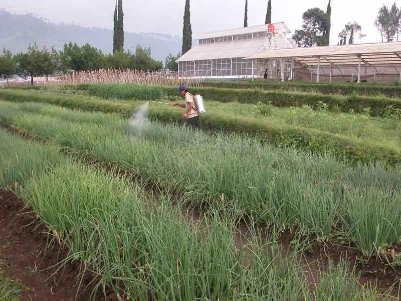 Balitbangtan Kembangkan Benih Bawang Merah di 7 Provinsi