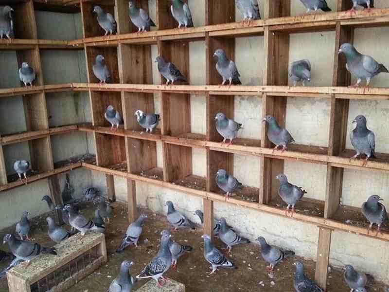 Beternak Burung Dara Sebagai Peluang Usaha