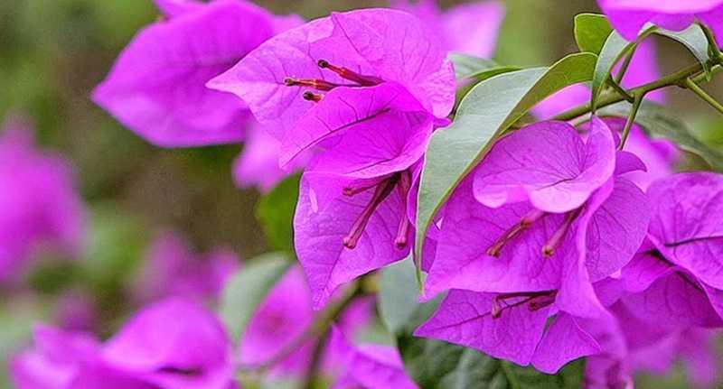 Budidaya Bunga Bougenville untuk Mempercantik Pekarangan Rumah