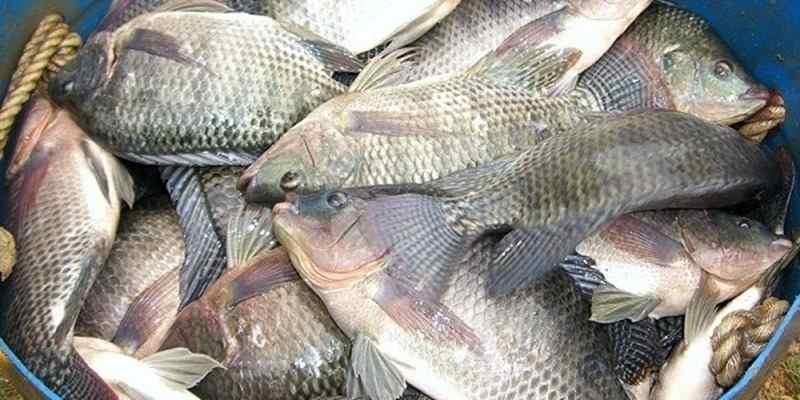 Budidaya Ikan Mujair Sebagai Peluang Usaha
