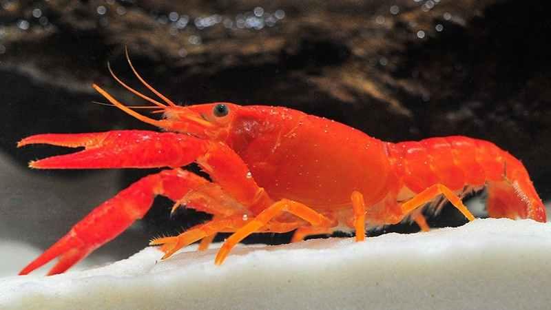 Budidaya Lobster Hias di Akuarium
