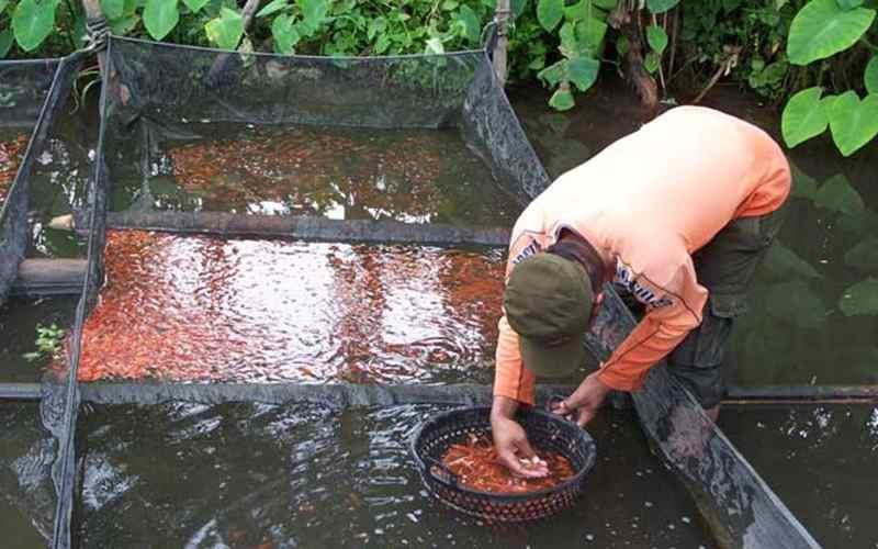 Cara Jitu Budidaya Ikan Koi