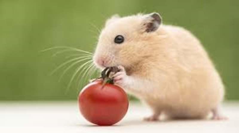 Daftar Makanan yang Baik untuk Pertumbuhan Hamster
