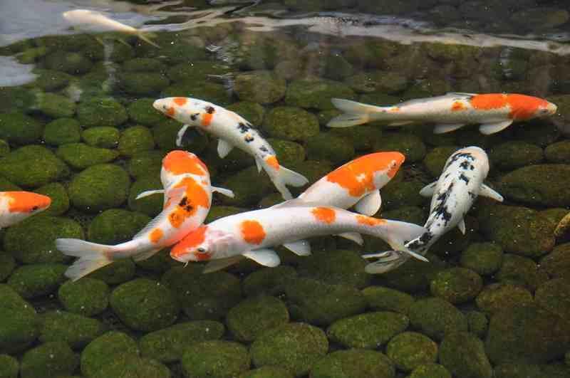 Faktor-faktor ini Memengaruhi Kesehatan Ikan