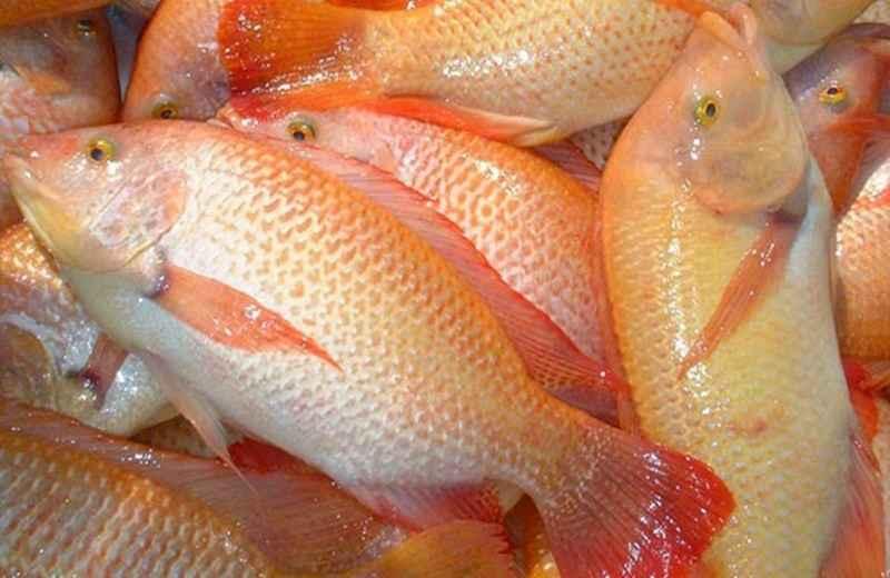 Ingin Budidaya Ikan Kakap Berhasil? Lakukan Hal ini