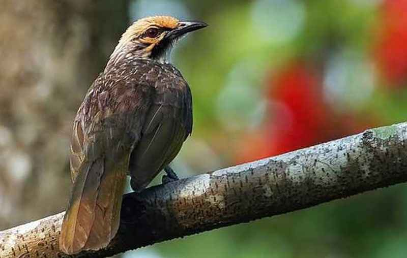 Ini Dia Alasan Burung Cucak Rowo Menjadi Primadona