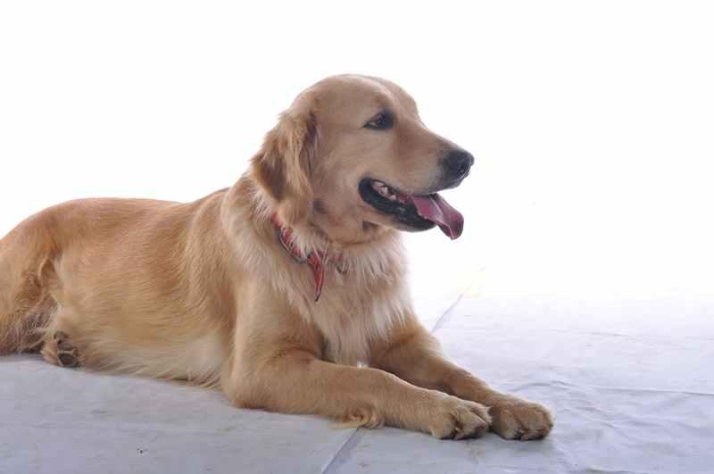 Mengatasi Demam dan Flu pada Anjing