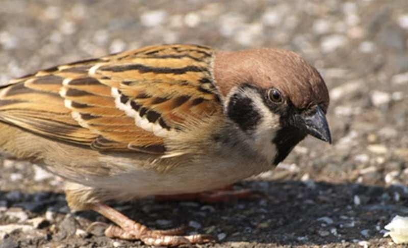 Mengenal Lebih Dekat Burung Gereja