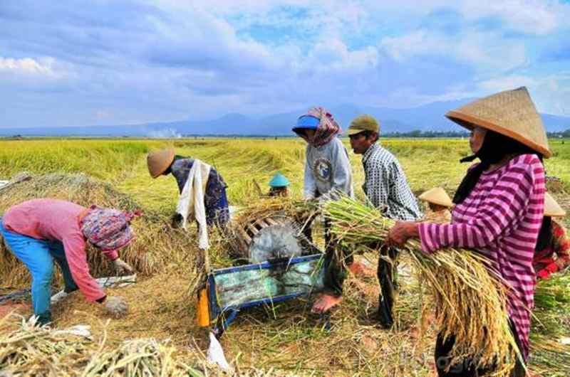 Menyambut Panen Raya, Petani di Purbalingga Panen Padi Bersama