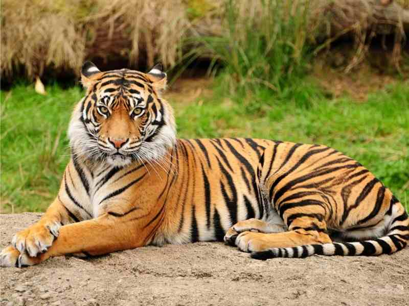 Rayakan Hari Hewan Dunia di Athena, Harimau Indonesia Jadi Primadona