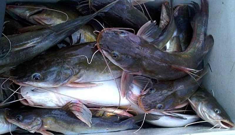 Panduan Lengkap Budidaya Ikan Baung