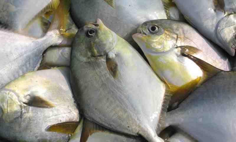Panduan Lengkap Budidaya Ikan Bawal Bintang
