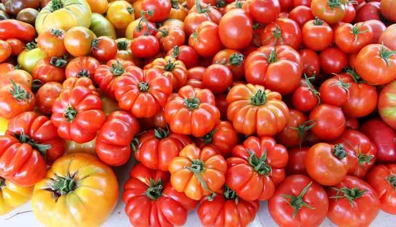 Tata Cara Budidaya Tomat Costoluto Genovese di Polybag