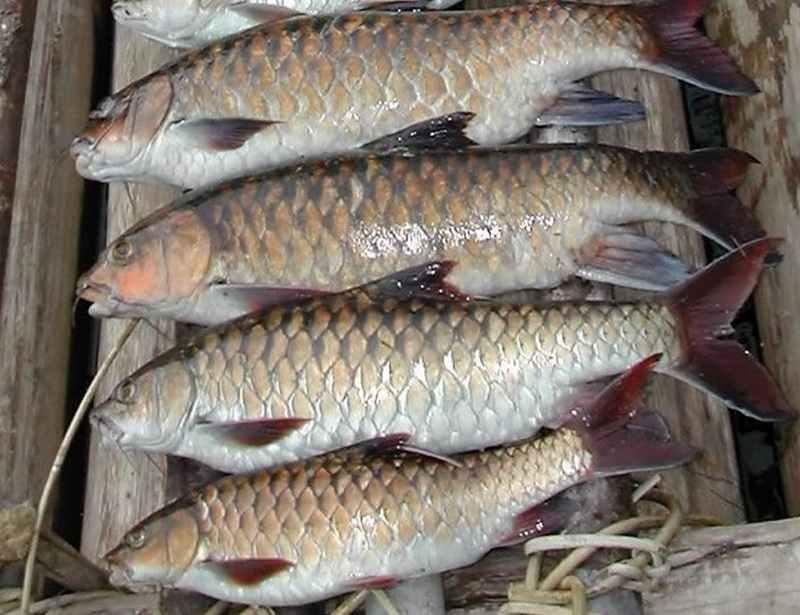 Tata Cara Budidaya Ikan Tombro untuk Pemula