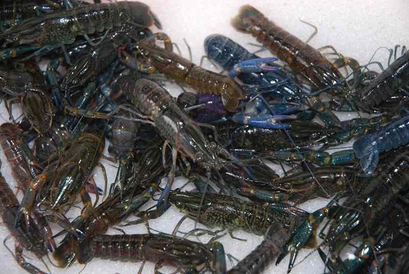 Tata Cara Budidaya Lobster Air Tawar di Kolam Terpal