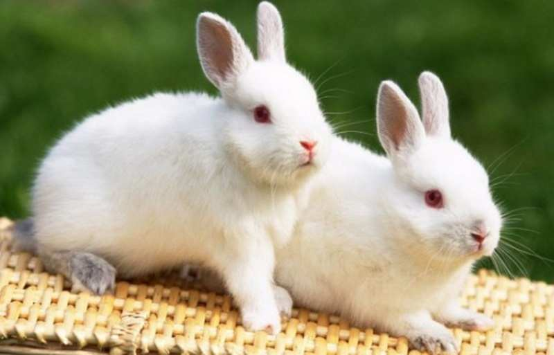 Teknik Tepat Mengobati Penyakit Scabies pada Kelinci