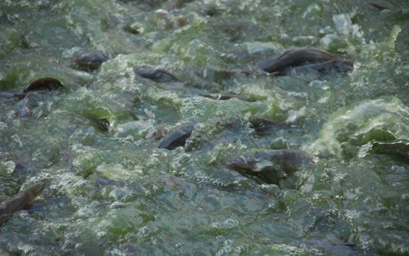 Tips Jitu Hilangkan Lumut di Kolam Lele