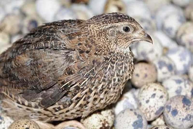 Tips Jitu Memilih Bibit Burung Puyuh Berkualitas