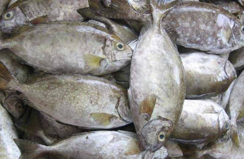 Tips Pintar Memilih Indukan Ikan Baronang yang Berkualitas