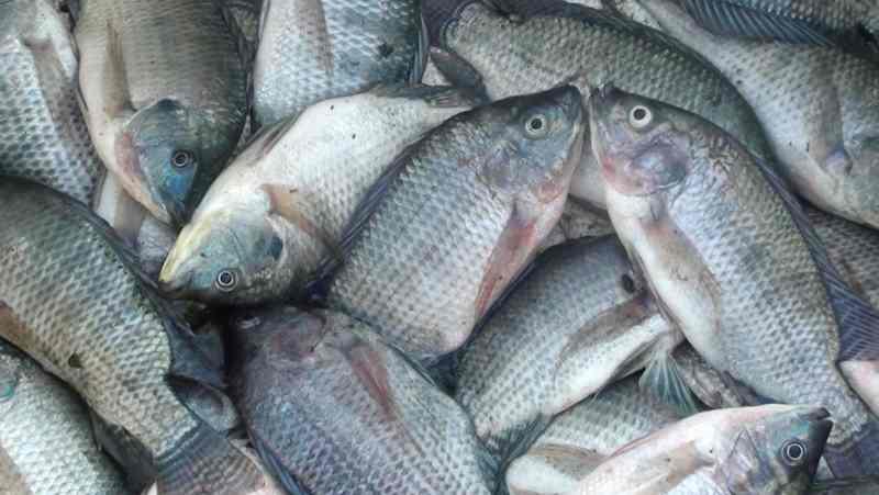 Tips Sukses Budidaya Ikan Mujair