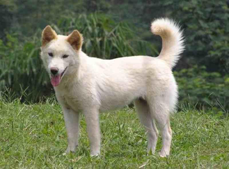 Trik Jitu Melatih Anjing Kintamani Agar Tidak Galak