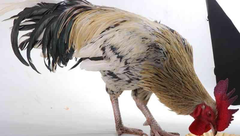 Waspada! Penyakit Ini Kerap Menyerang Ayam Kampung