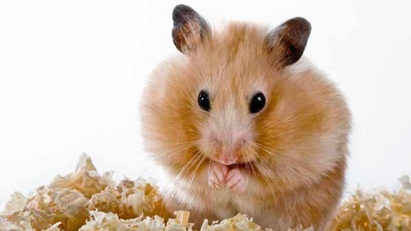 Fakta Menarik Hamster