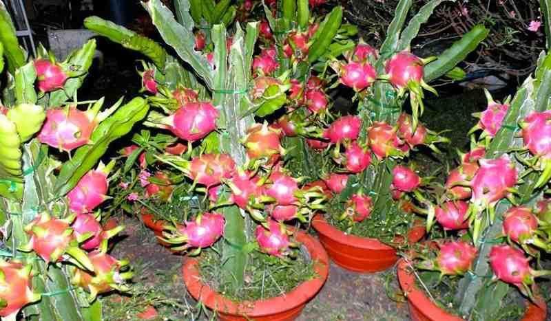 inilah-daftar-tanaman-buah-yang-bisa-ditanam-dalam-pot