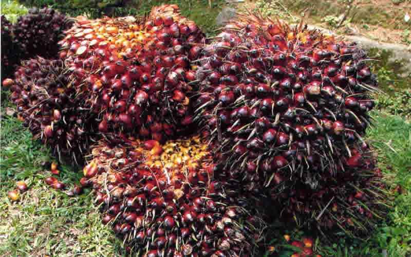 Kelapa Sawit Menjadi Primadona, di Tengah Anjloknya Harga Karet dan Rotan