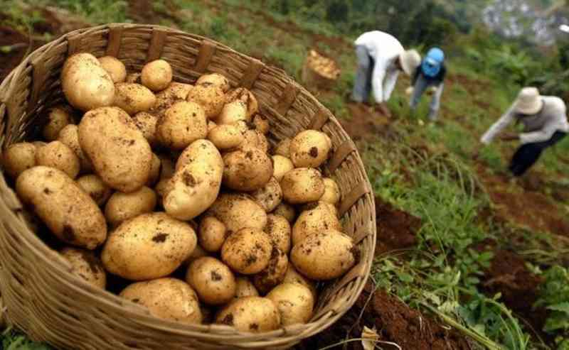 langkah-langkah-budidaya-kentang-di-dataran-tinggi