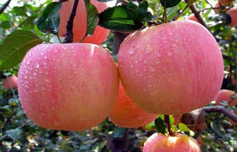 lima-manfaat-apel-fuji-yang-menakjubkan