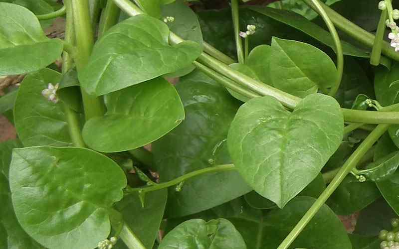mengolah-daun-binahong-sebagai-ramuan-herbal
