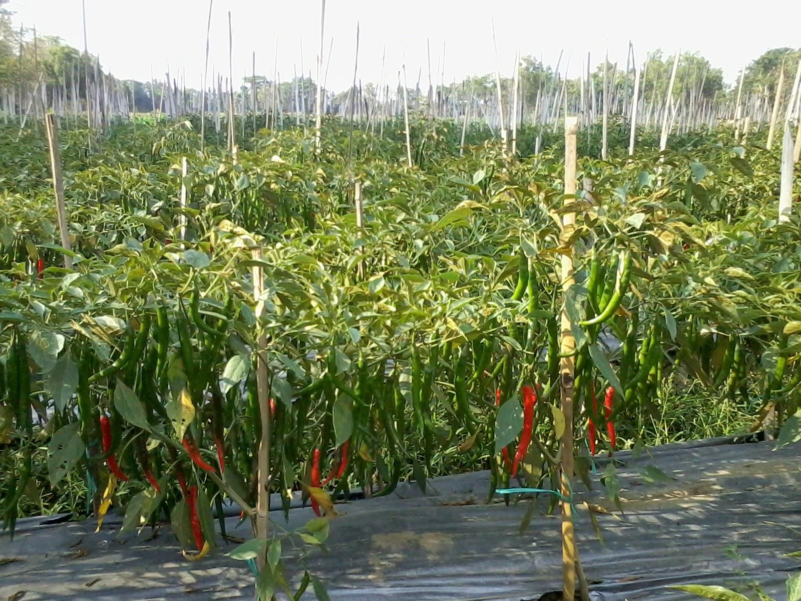 mentan-canangkan-penanaman-50-juta-pohon-cabai