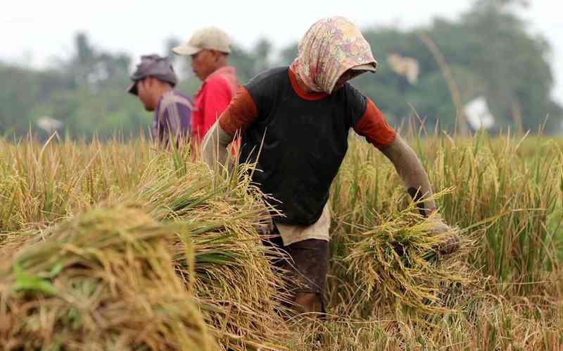 Menteri Pertanian Hadiri Panen Raya Padi Hibrida