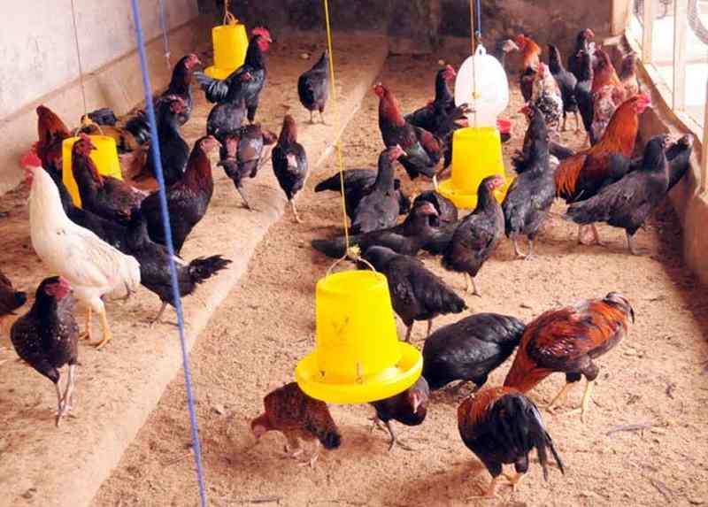 Mudahnya Membuat Pakan Alternatif Ayam Kampung