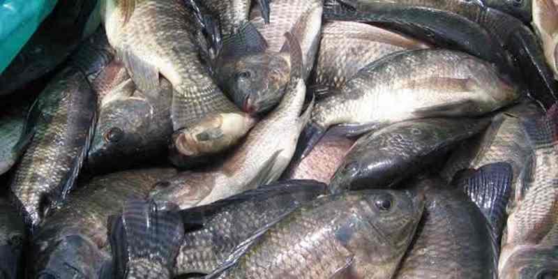 Potensi dan Peluang Usaha Budidaya Ikan Nila
